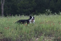 reata cowbread border collie 2
