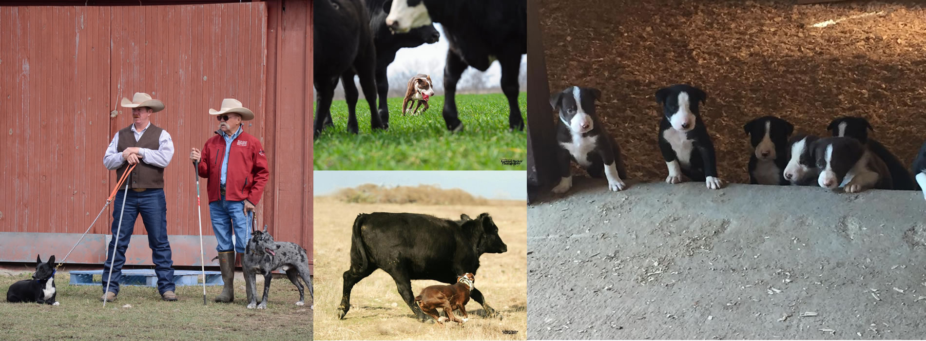 diamond j stockdogs - texas cowdogs training and sales